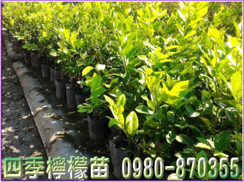四季檸檬樹苗