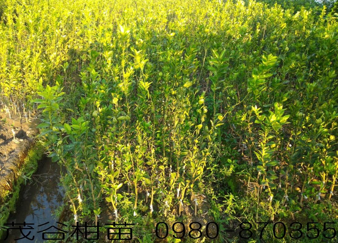 茂谷柑苗出售