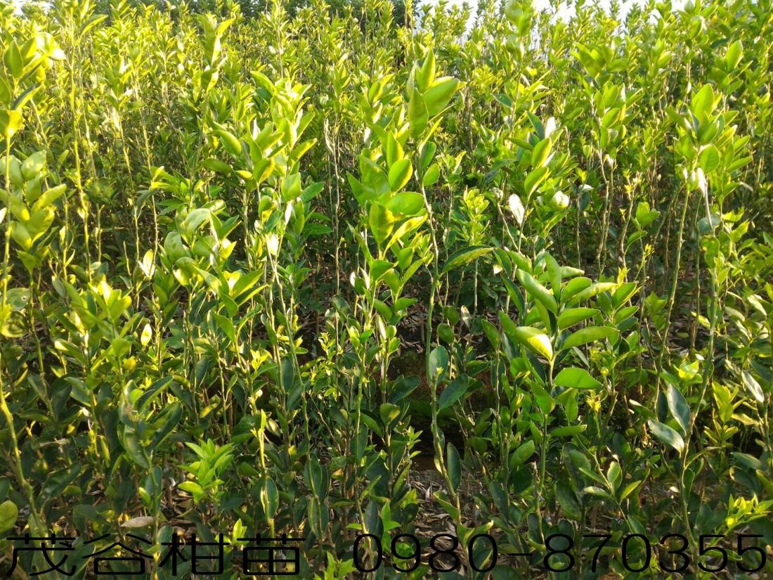 茂谷柑苗,森聯茂種苗園