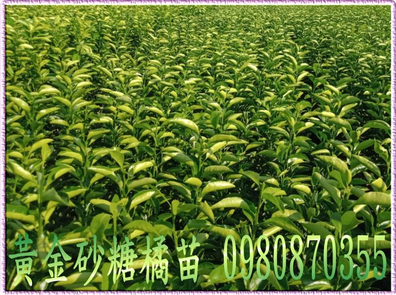 砂糖桔果樹苗