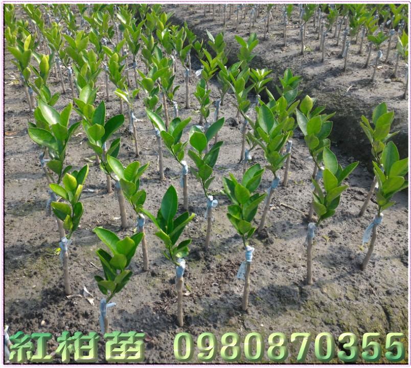 紅柑樹苗,紅柑果苗,紅柑種苗,紅柑苗買賣,紅柑苗批發