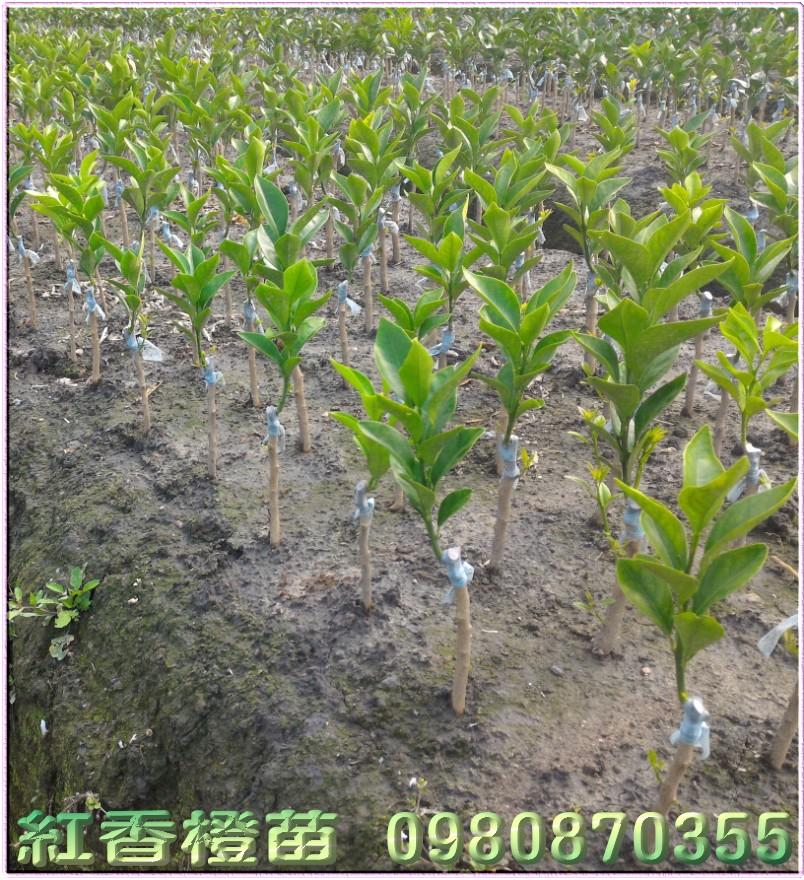 紅香橙樹苗