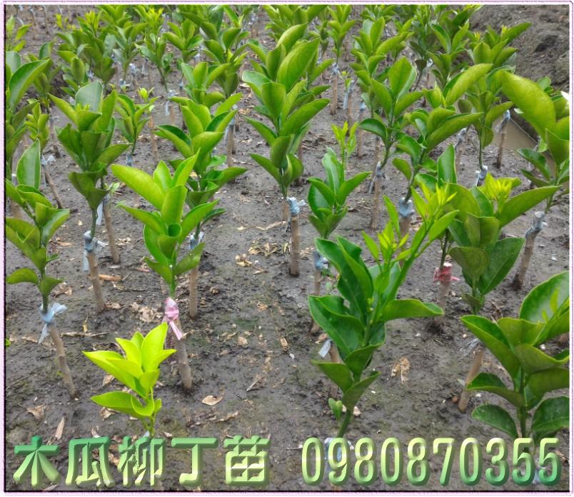 木瓜柳丁種苗,木瓜蜜丁種苗,木瓜柳丁苗買賣,木瓜蜜丁苗批發