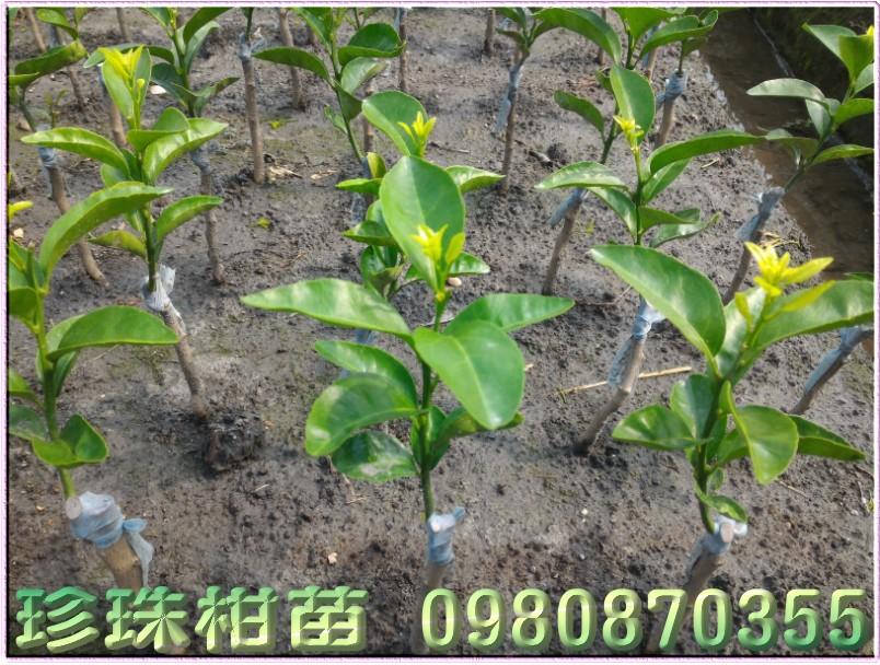 珍珠柑種苗