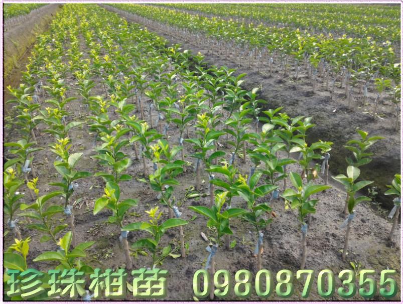 珍珠柑苗批發