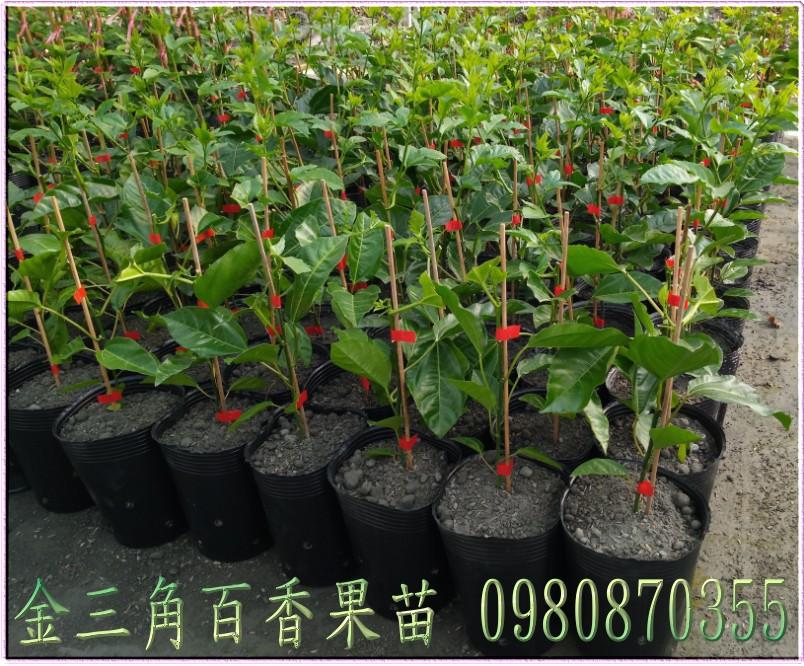 金三角百香果苗