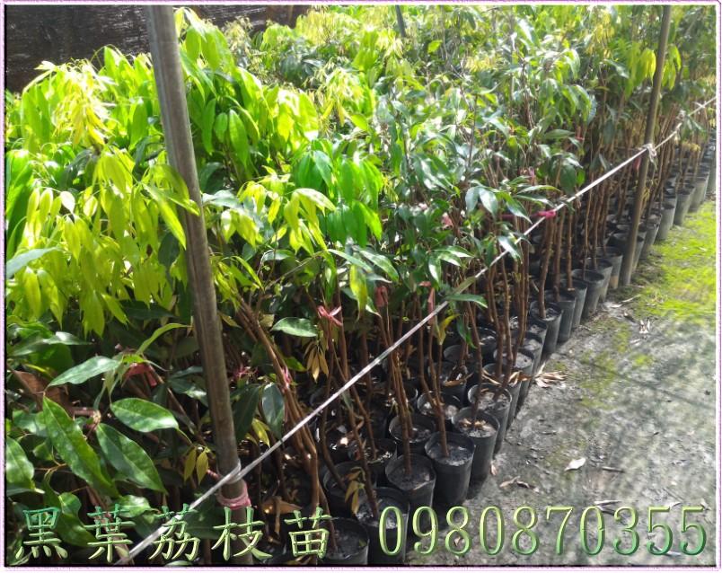 黑葉荔枝樹苗