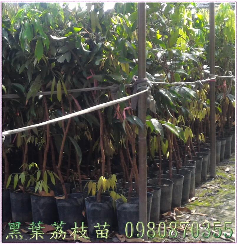 黑葉荔枝果苗
