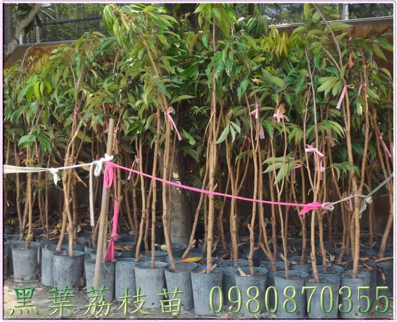 黑葉荔枝種苗