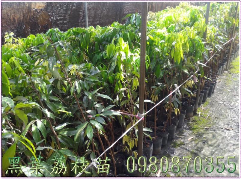 黑葉荔枝苗出售