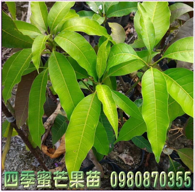 四季蜜芒果苗出售,四季蜜芒果種苗,四季蜜芒果果苗