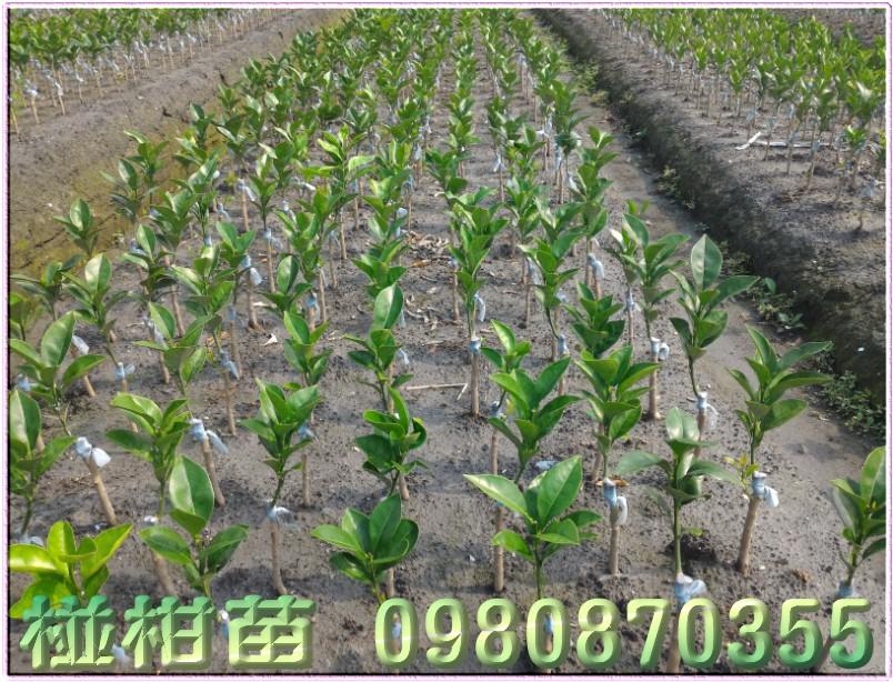 椪柑苗買賣