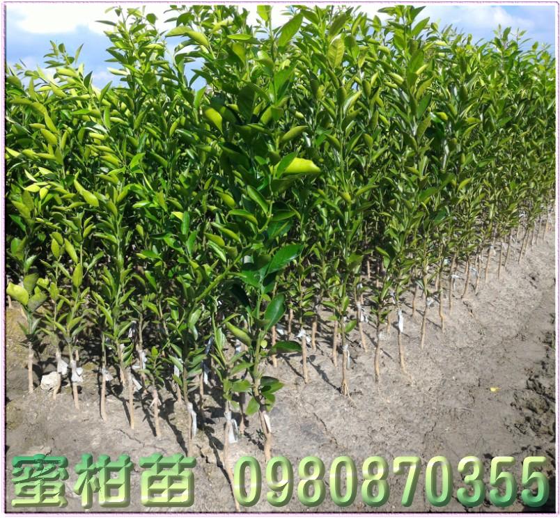 黃金蜜柑苗買賣