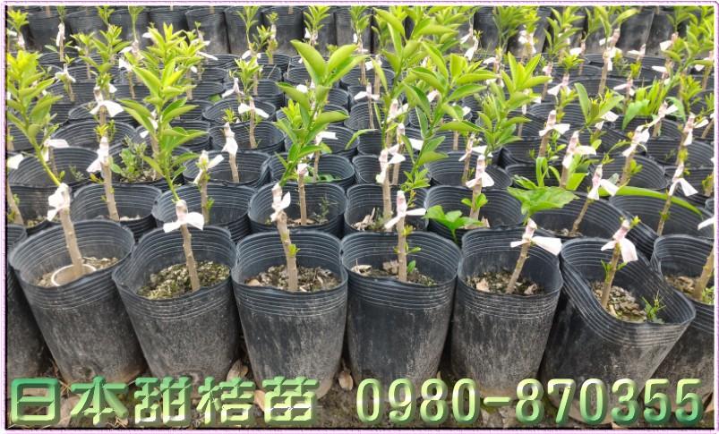 日本甜桔苗,買賣,出售,批發