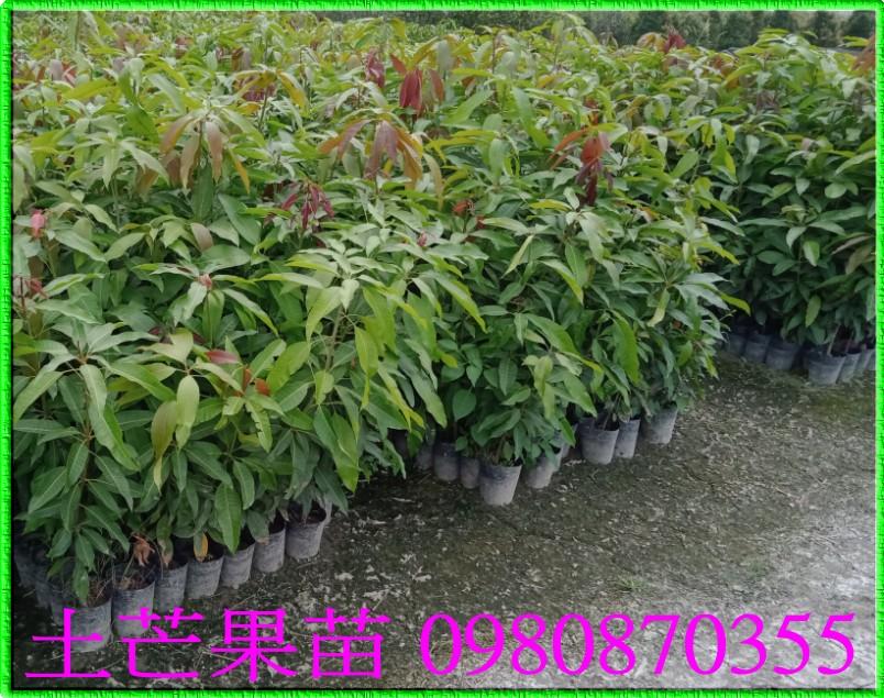 土芒果樹苗