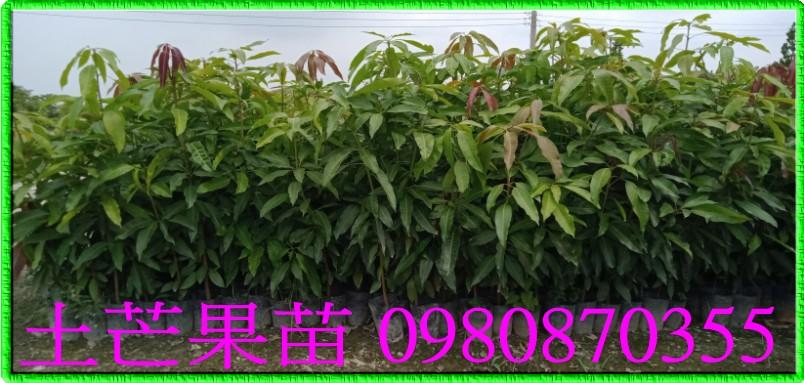芒果苗砧木