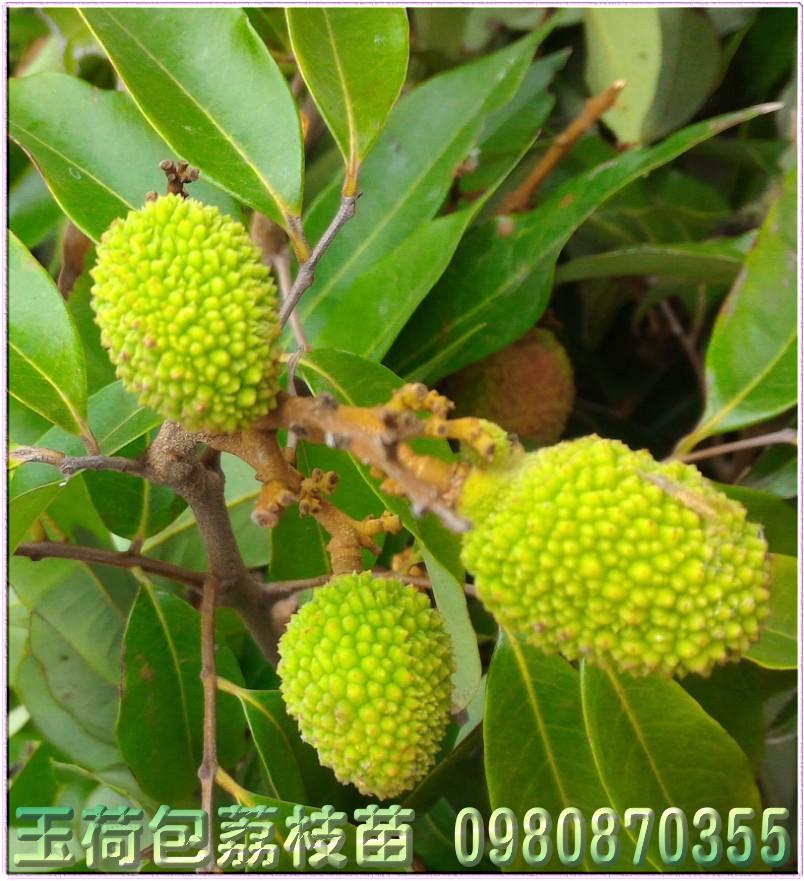 玉荷包荔枝苗