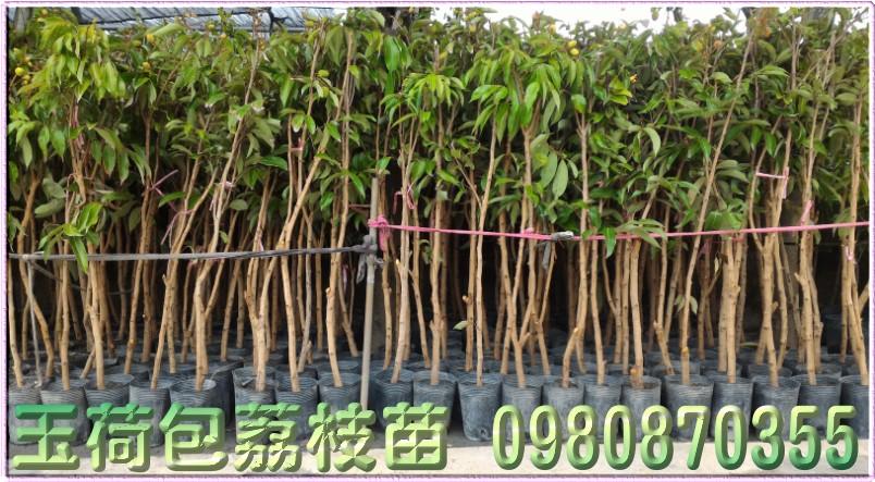 玉荷包荔枝樹苗