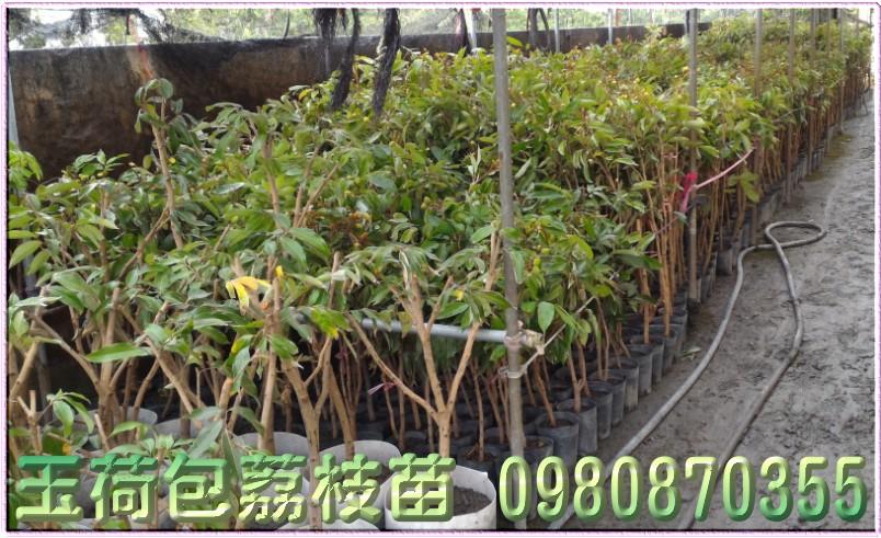 玉荷包荔枝果苗