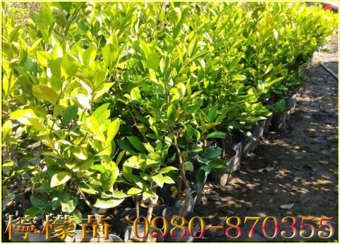 四季檸檬苗