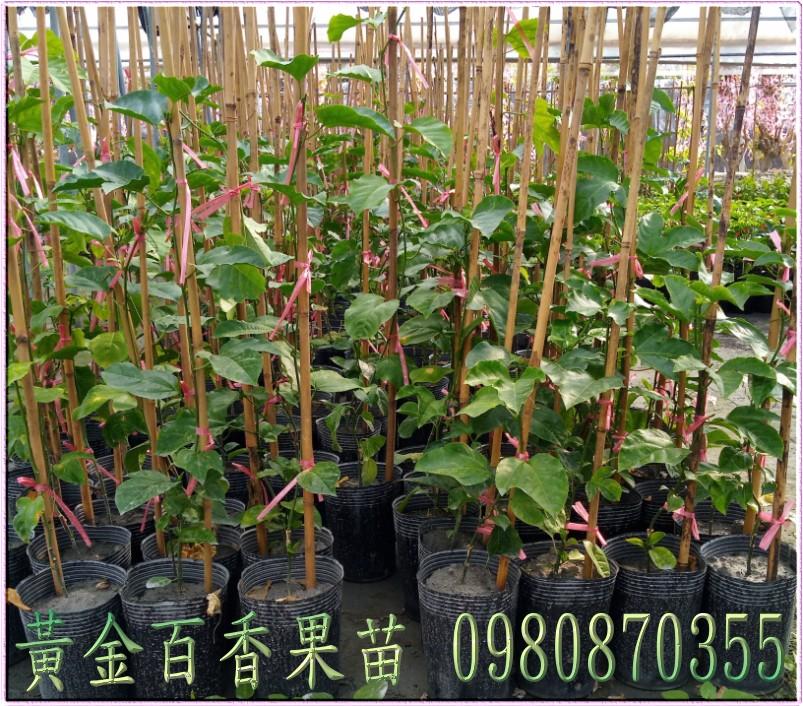 黃金百香果苗