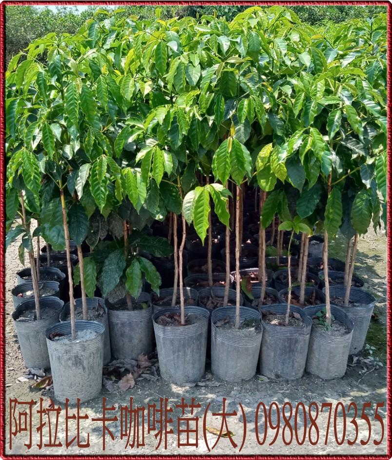 阿拉比卡咖啡樹苗