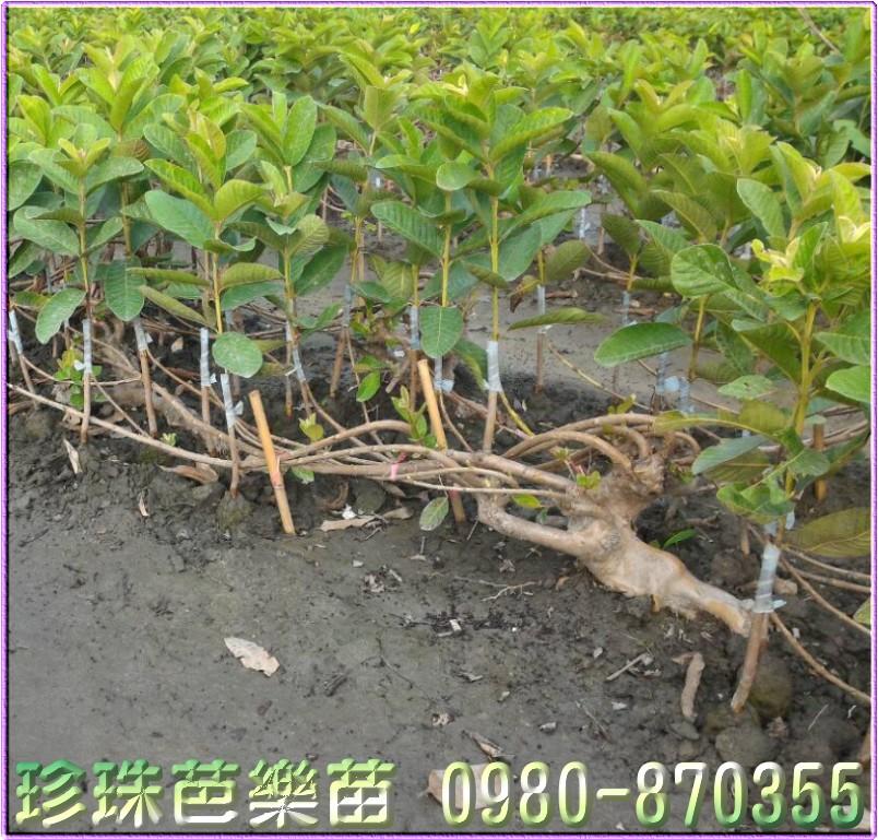 彰化水果苗
