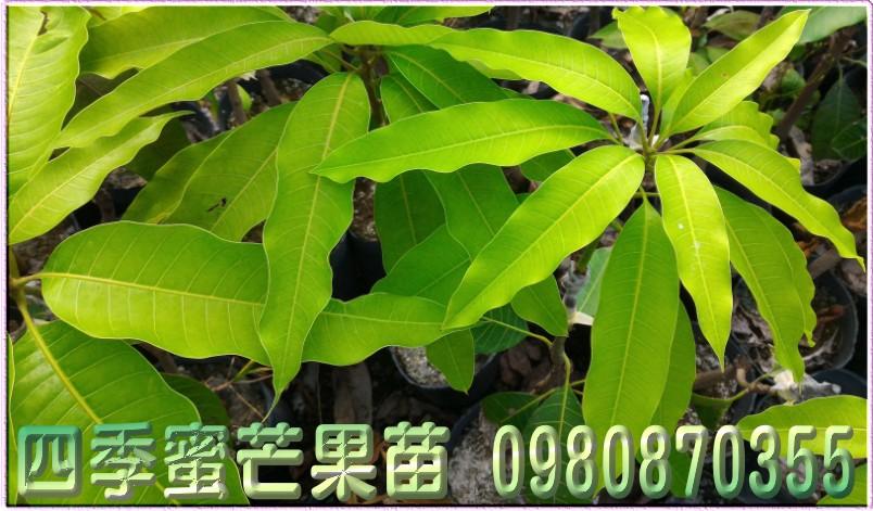 四季蜜芒果樹苗