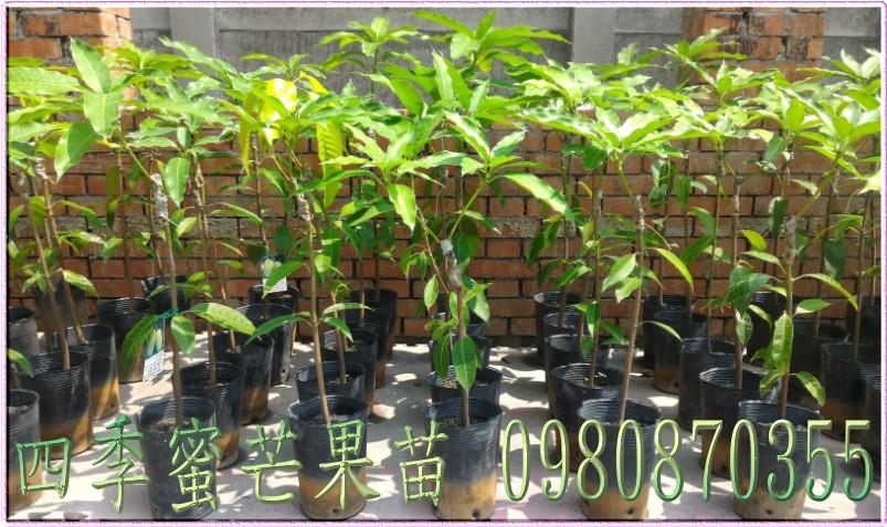 四季蜜芒果苗出售